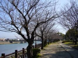 桜並木になる予定